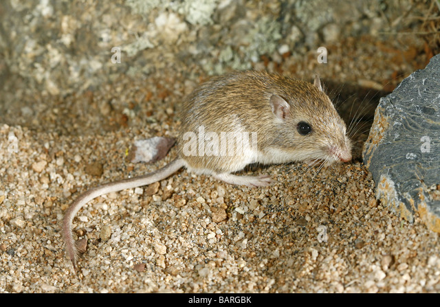 Intermedius Stock Photos & Intermedius Stock Images - Alamy