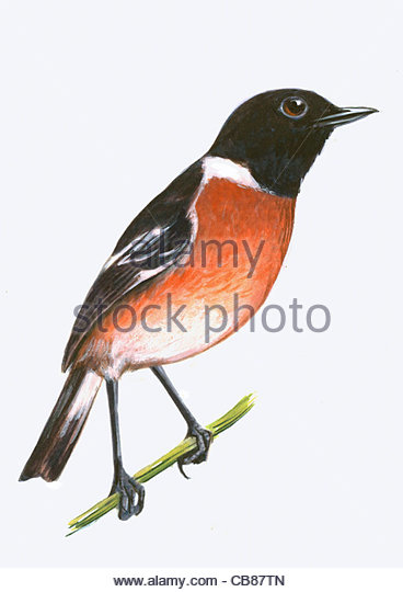 Stonechat bird species Series Songbird - Stock-Bilder