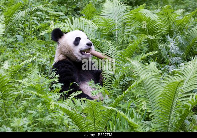 Giant Panda eating bamboo Wolong China - Stock Image