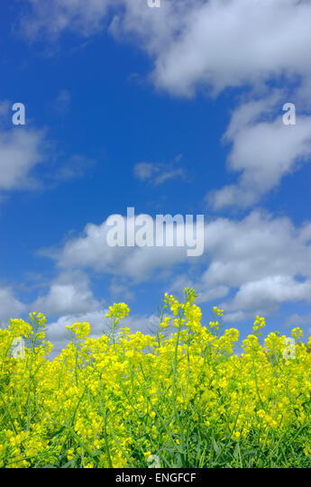 yellow rapeseed flowers against blue sky - Stock Image