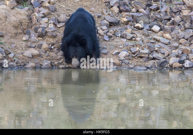 Sloth bear (Melursus ursinus), adult drinking at waterhole, Tadoba National Park, Maharashtra, India, April - Stock-Bilder