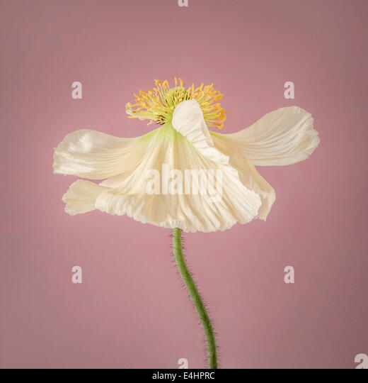 White Poppy in bloom on pink background - Stock Image