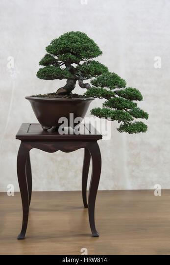 Bonsai tree,Chuhin composition - Stock Image
