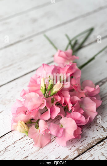 Sweet Pea (Lathyrus odoratus) Winter Sunshine Pink - Stock Image