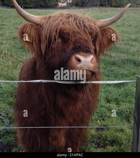 Highland Hairy Coo looking for a treat! - Stock Image
