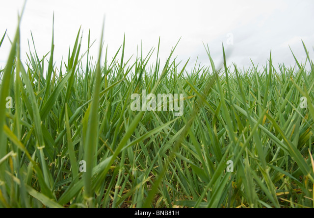 Field of barley early spring - Stock Image