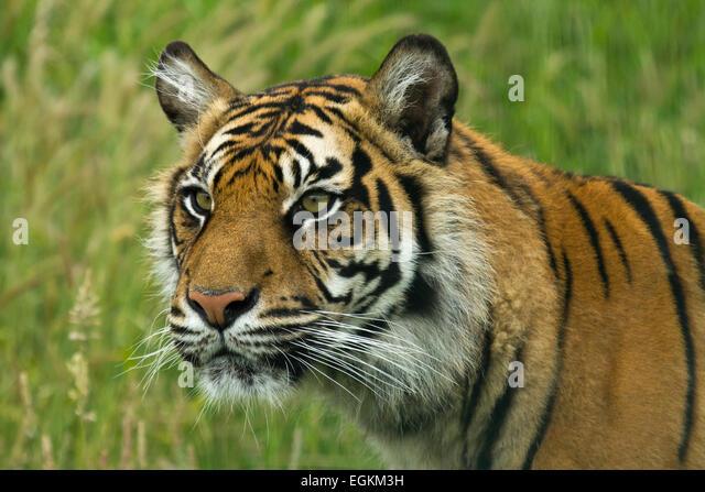 Captive tiger - Stock Image