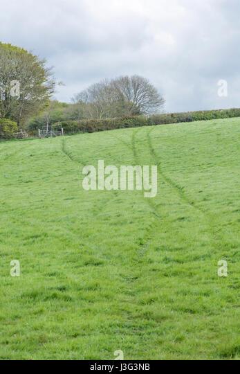 Livestock tracks running through green pasture field in Cornwall, UK. - Stock Image