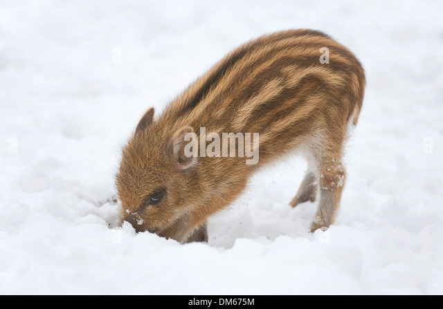Wild Boar (Sus scrofa), piglet digging in the snow, captive, Saxony, Germany - Stock Image