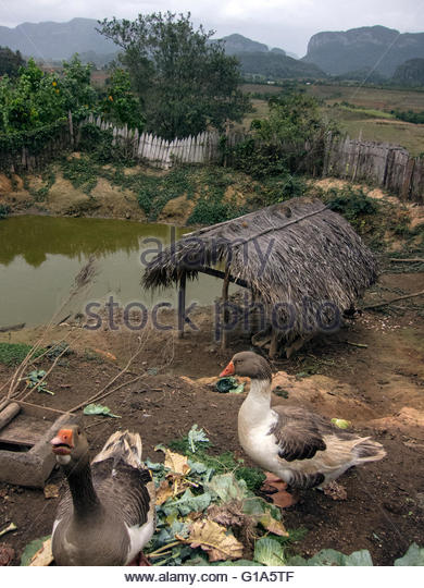 Ducks eating scraps of organic vegetables by a pond; Finca Agreocologica 'El Paraiso', Vinales Valley, Cuba - Stock Image