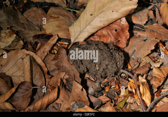 Excrements of Brown bear Ursus actor marsicanus, Abruzzo National Park, Pescasseroli, Abruzzo, Italy - Stock Image