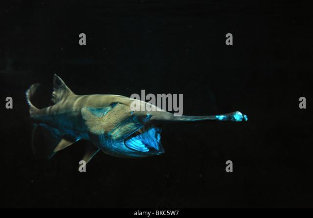 American paddlefish, Polyodon spathula, captive - Stock Image