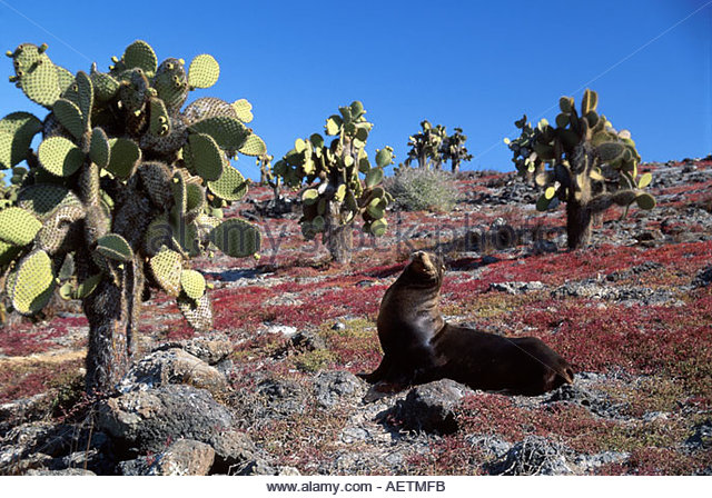 Ecuador Galapagos Islands South Plaza Island cactus bull male sea lion red sessuvium dry season - Stock Image