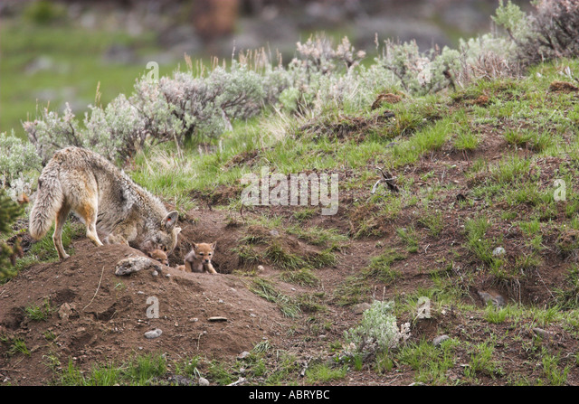 Coyote mother and pups at den - Stock Image