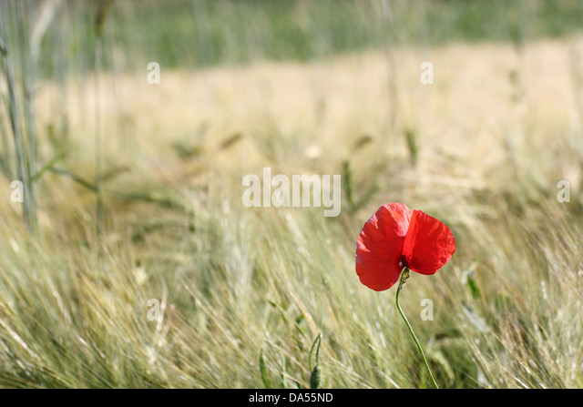 minimalist view of a beautiful red poppy growing in a corn cultivated filed - Stock Image