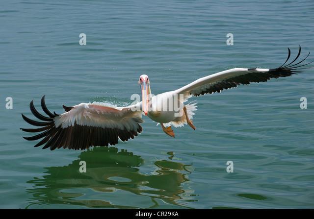 Great White Pelican (Pelecanus onocrotalus) Pelican skimming the water, Walvis Bay, Namibia - Stock Image