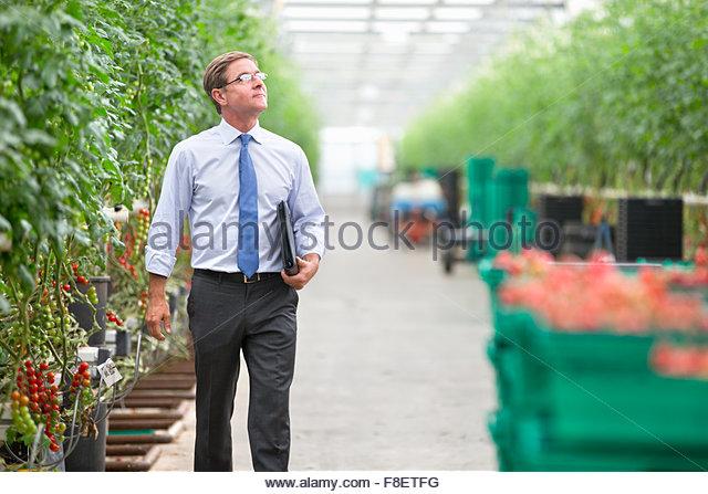 Businessman walking along tomato plants in greenhouse - Stock Image