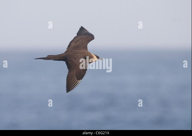 Arctic Skua Stercorarius parasiticus An adult in flight. July. Shetland Islands, Scotland, UK Photographer.Andrew - Stock-Bilder