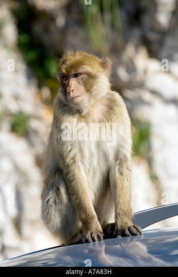 Gibraltar Ape sitting on car roof - Stock Image