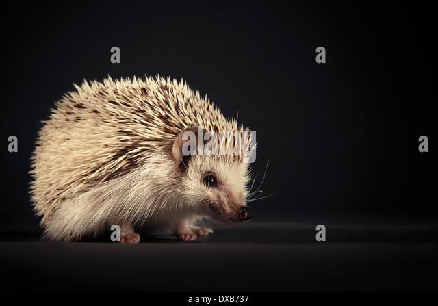 Hedgehog baring teeth to camera. - Stock-Bilder