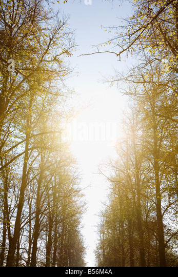 Sunlight in avenue of trees - Stock Image