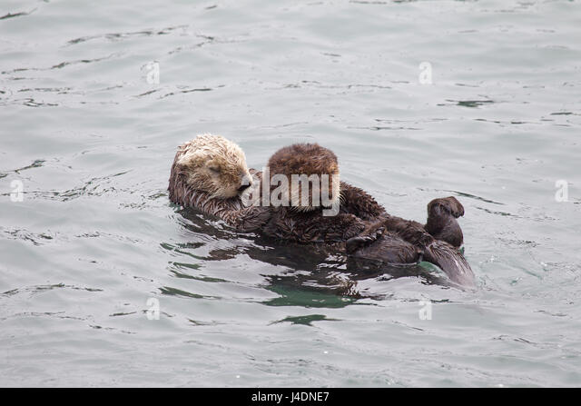 Sea Otter Mom and Pup - Stock Image