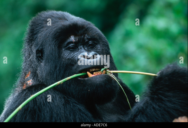 Mountain Gorilla Gorilla gorilla beringei Stem peeling is a favourite feeding technique Distribution Rwanda Uganda - Stock Image