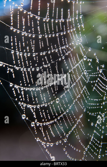 Spider's web with dew drops in garden UK - Stock Image
