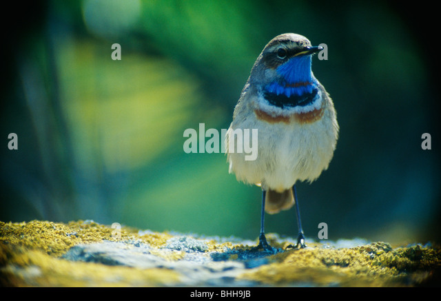Bluethroat against an abstract background, Sweden. - Stock Image