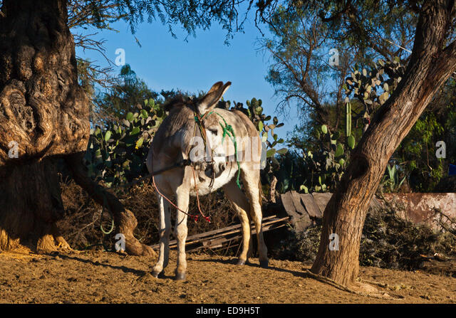 A MULE in historic MINERAL DE POZOS which was once a large mining town - MEXICO - Stock Image