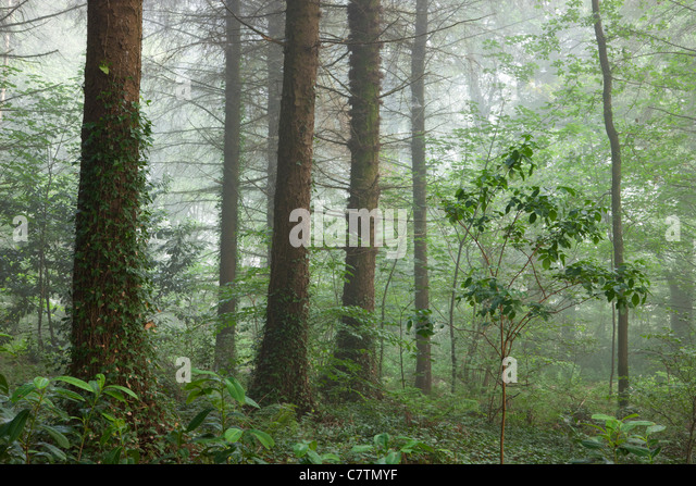 Misty summer morning inside a British Woodland, Morchard Wood, Devon, England. Summer (July) 2011. - Stock-Bilder