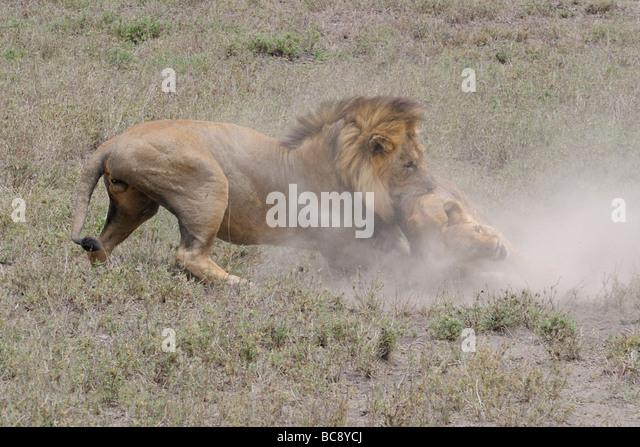 Stock photo of a large male lion attacking and killing a cub, Ndutu, Tanzania, February 2009. - Stock Image