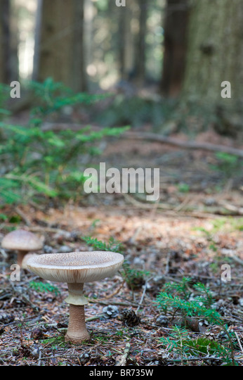 Amanita rubescens, The blusher mushroom - Stock Image
