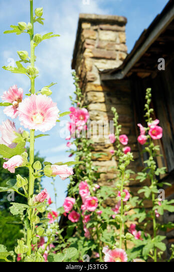 Arkansas Ozark Mountains Mountain View Ozark Folk Center State Park hollyhock flower stone chimney tradition folk - Stock Image