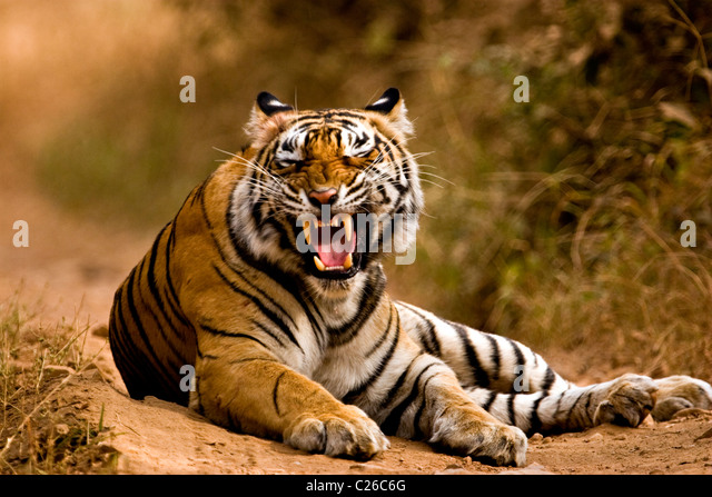 Tiger snarling on the forest tracks of Ranthambore tiger reserve - Stock Image