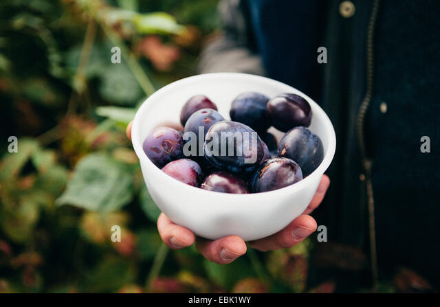 Person holding bowl of fresh plums - Stock Image