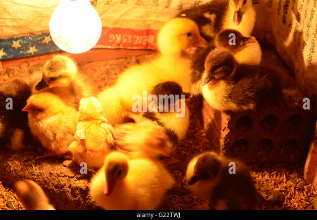 Chicks And Ducklings Under A Heat Lamp In A Brooder Box   Stock Image