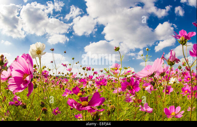 Japan, Okinawa, Cosmos flower field - Stock-Bilder