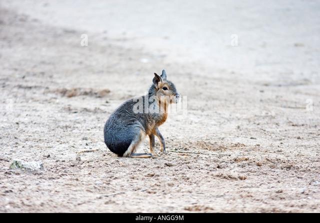Mara, Dolichotis patagonum - Stock Image