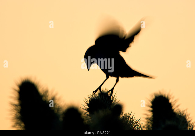 Black throated Sparrow landing on Cholla Cactus - Stock-Bilder