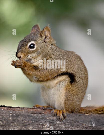 Red squirrel (spruce squirrel) (Tamiasciurus hudsonicus), Wasilla, Alaska, United States of America, - Stock Image