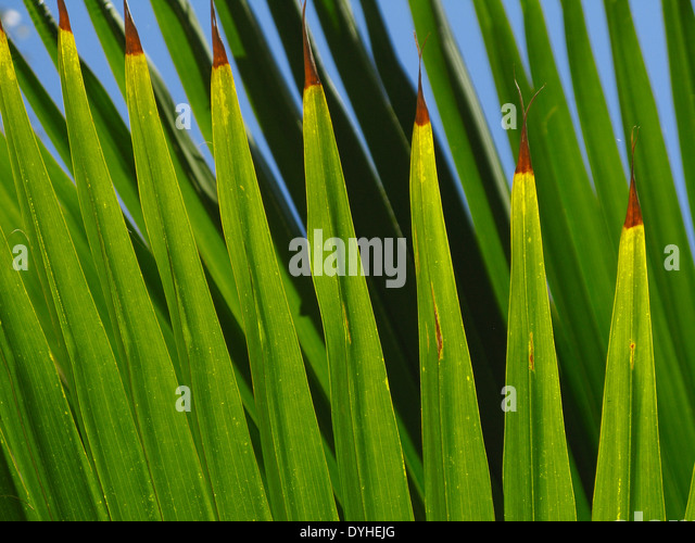 Isla Culebra Puerto Rico USA territory Flamenco Beach Palm tree fronds - Stock Image