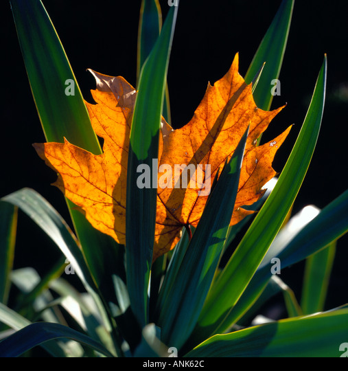 fallen maple leaf on yucca in autumn. Photo by Willy Matheisl - Stock Image