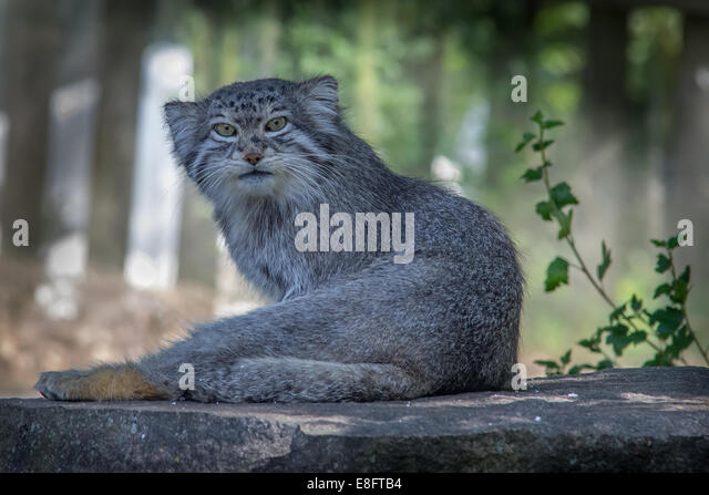Wild Cat - Stock Image
