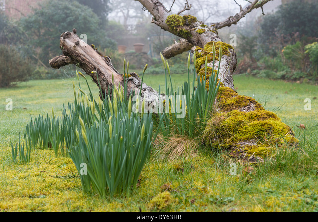 Daffodils growing in garden under old apple tree in spring. Fourth of sequence of 10 (ten) images photographed over - Stock Image