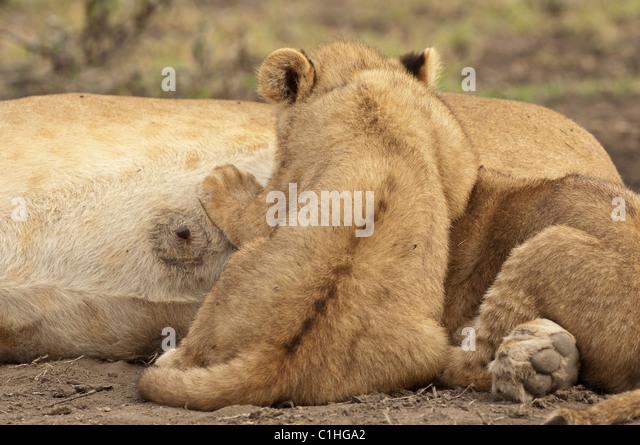 Lion Babies Female Sto...