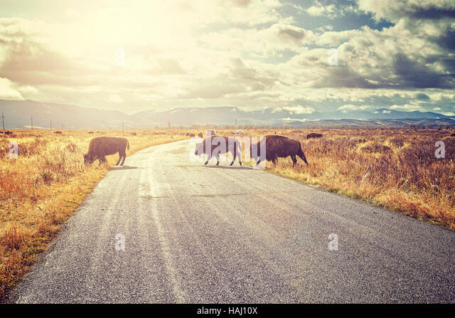 Retro toned Herd of American bison (Bison bison) crossing road in Grand Teton National Park at sunrise, Wyoming, - Stock Image