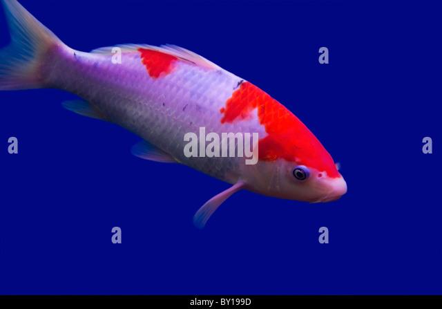 Big goldfish stock photos big goldfish stock images alamy for Giant koi carp