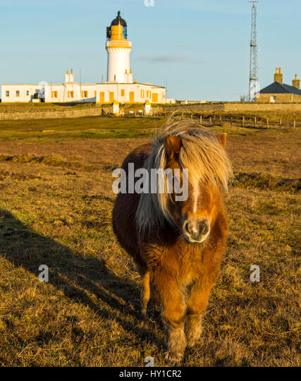 The lighthouse and a Shetland pony at Noss Head, near Wick, Caithness, Scotland, UK - Stock Image