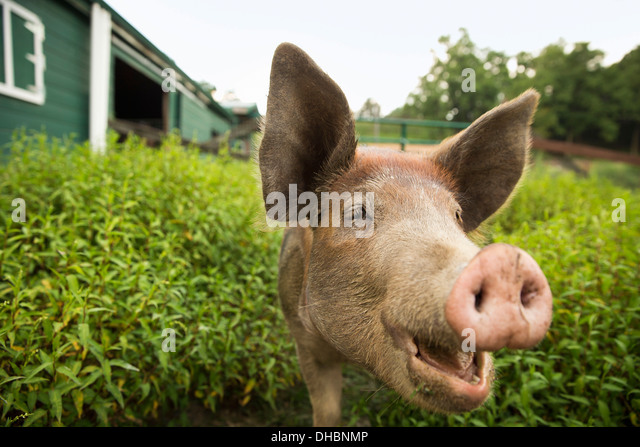 An organic farm in the Catskills. A pig. - Stock Image
